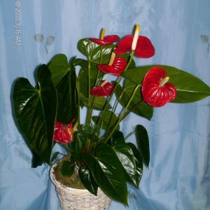 Anthurium-plant-40.00